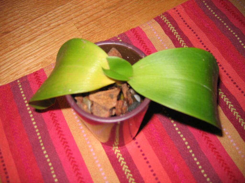 Phalenopsis leaves turning yellow-orchids-001-jpg