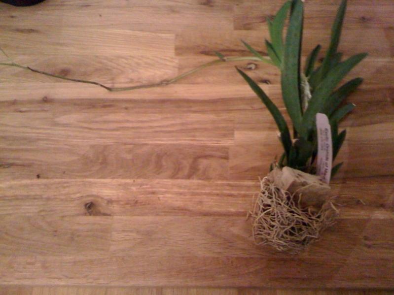 Need Help with my Oncidium Hybrid-entire-orchid-jpg