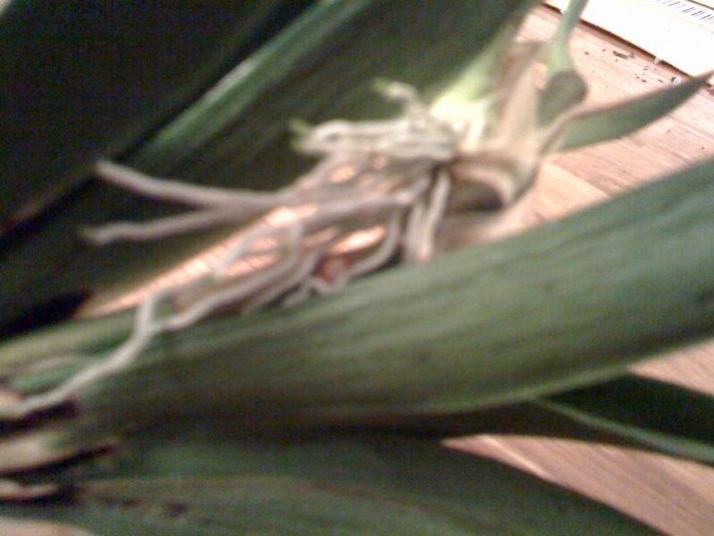 Need Help with my Oncidium Hybrid-keiki-1-pic-2-jpg