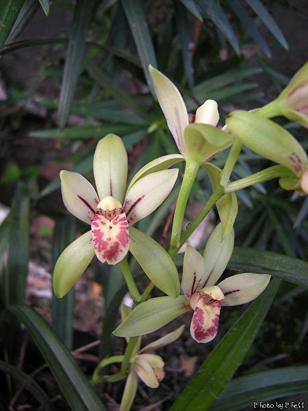 Cymbidium Ensifolium Orchid Cymbidium Ensifolium Dscn4980