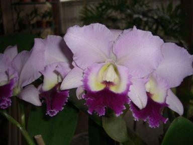 Blc. Memoria Crispin Rosales?-flower-jpg