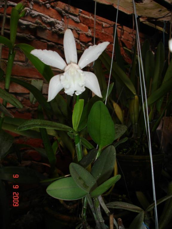 C. intermedia alba-intermedia-alba-jpg