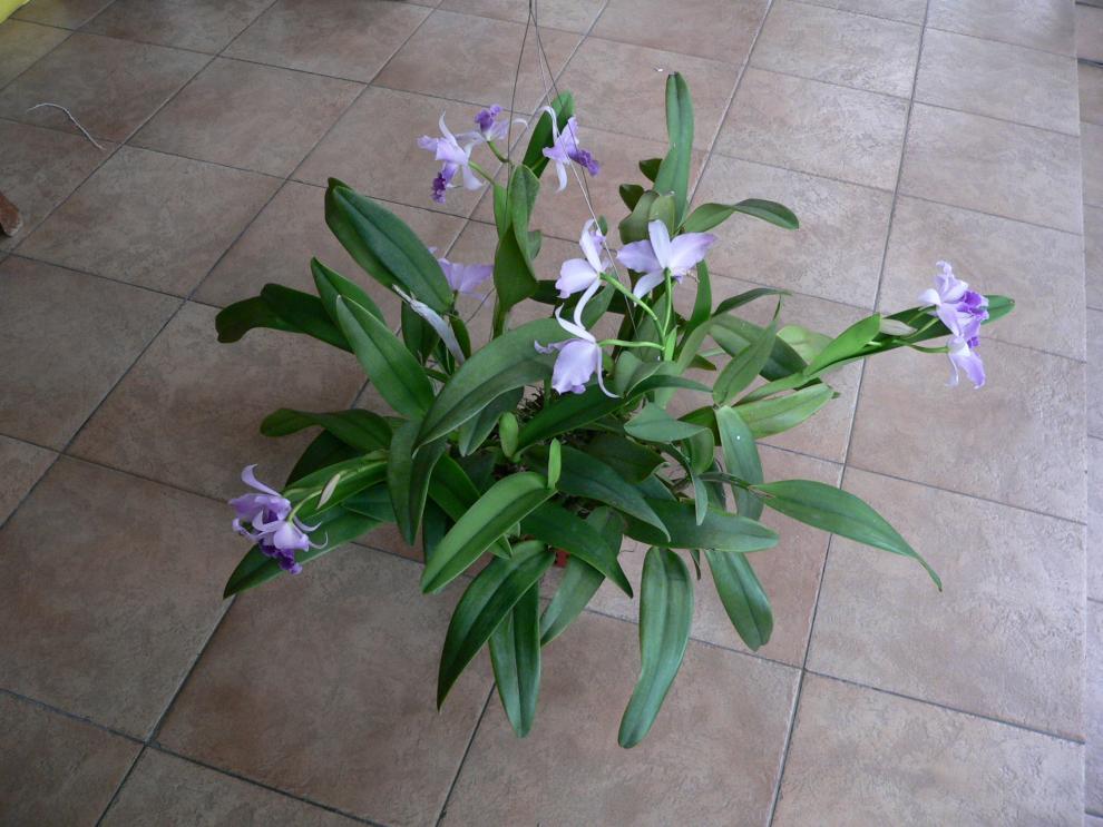 Cattlianthe Mary Elizabeth Bohn in full bloom-cattlianthe-mary-elizabeth-bohn-1-jpg