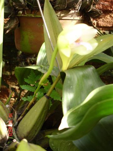 Bifrenaria thyriantina semialba (II)-bifr-thyrianthina-sa-1-jpg