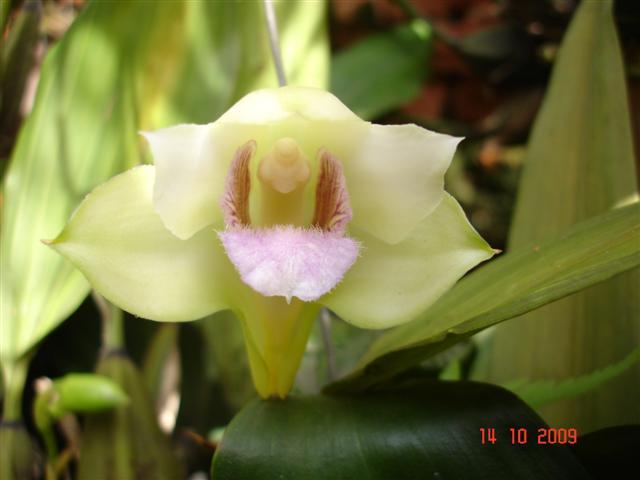 Bifrenaria thyriantina semialba (II)-bifr-thyrianthina-sa-jpg