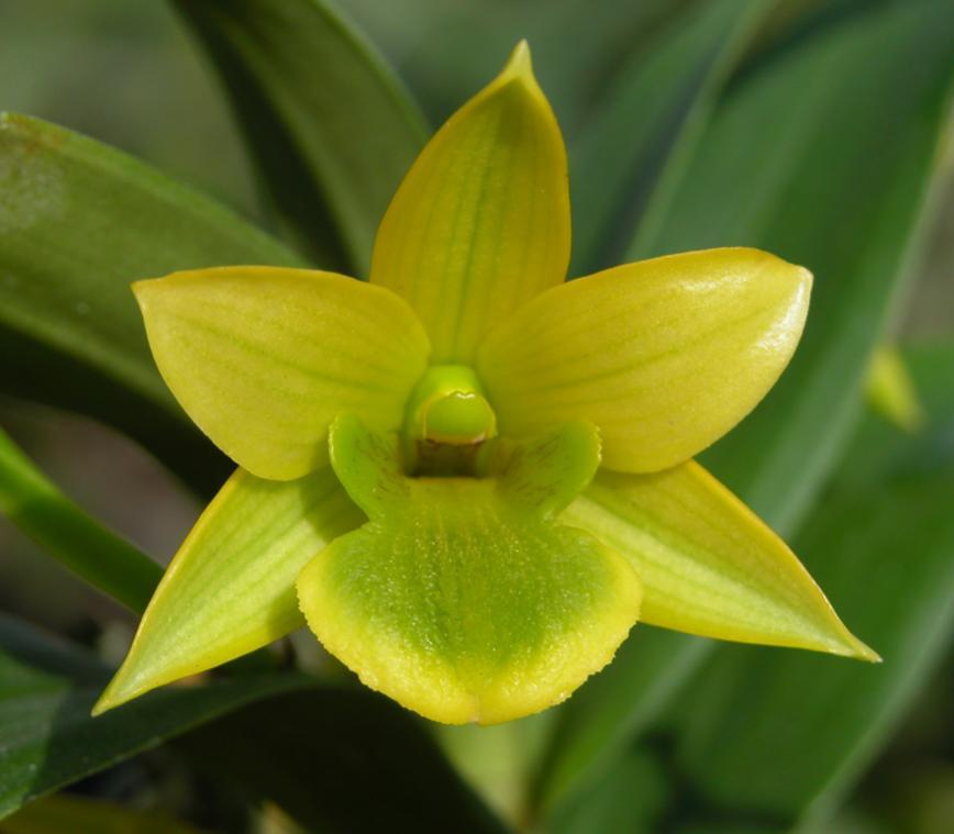 Fragrant yellow - Den Lemon Ice-lemon-ice-exc-ob-jpg
