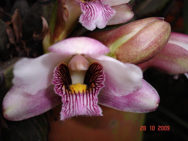 "BIfrenaria harrisoniae ""type""-bifr-harr-tipo-jpg"