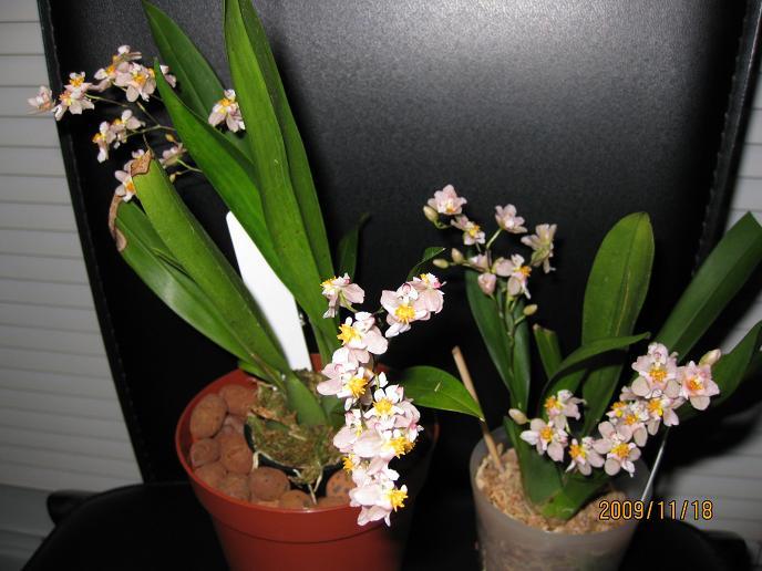 Tsiku Marguerite 'Romantic Fantasy' in bloom-tsikus-jpg