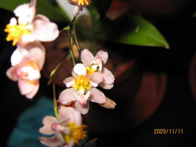 Tsiku Marguerite 'Romantic Fantasy' in bloom-tsiku-close-up3-jpg