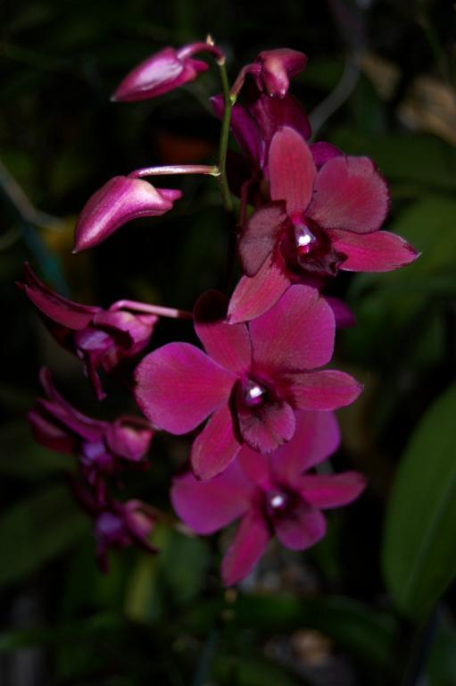 Black/Purple Dendrobiums-orchid-photos-982-jpg