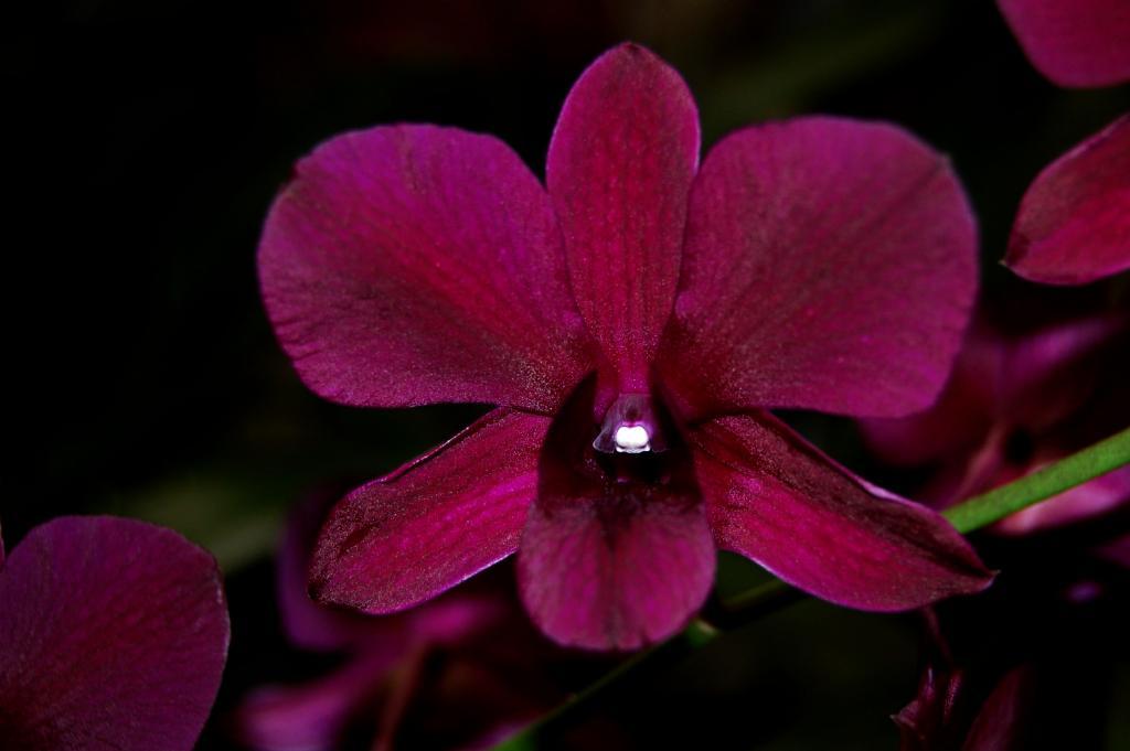 Black/Purple Dendrobiums-orchid-photos-974-jpg