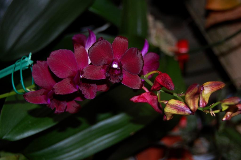 Black/Purple Dendrobiums-orchid-photos-978-jpg