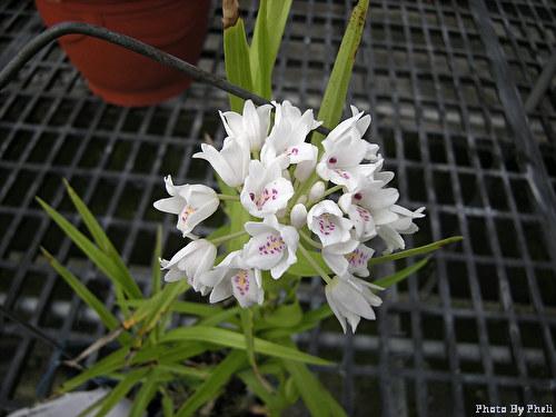 Neobenthamia gracilis-ng-jpg