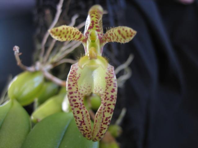 Bulbophyllum lasiochilum-bulbo_lasiochilum_2010-jpg