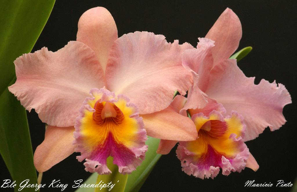 "Blc George King ""Serendipity"" AM/AOS-blc-george-king-serendipty-reduzida-nomeada-jpg"