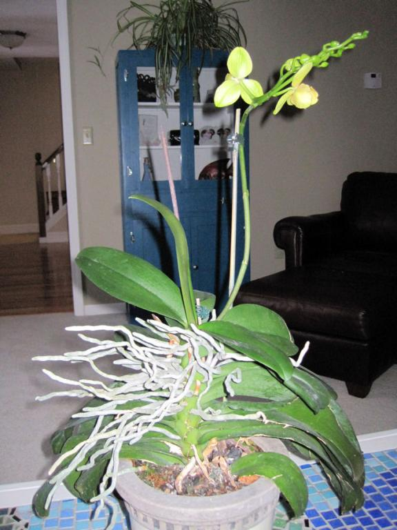 Help needed with LARGE phalaenopsis- repotting?-orchid-jpg