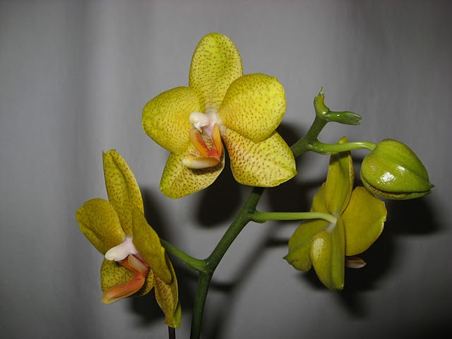 Need Help Identifying Two So-Called Miniature Orchids-img_2194-jpg