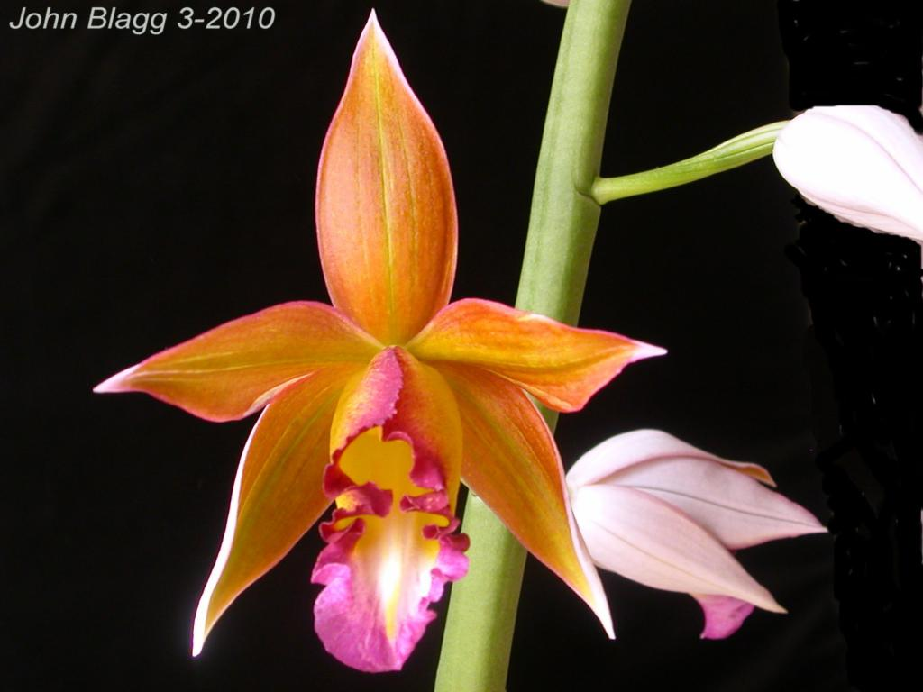the phaius has opened the wait was worth it too-tropical-ice-jpg