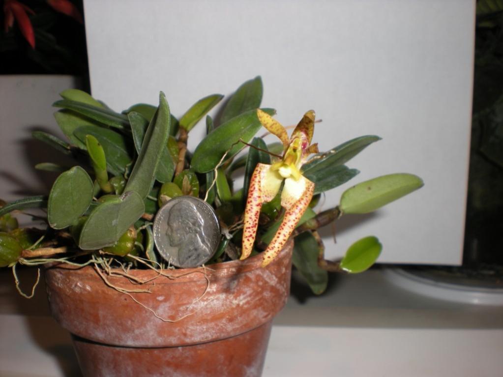 Bulbophyllum lasiochilum-dscn1179-jpg