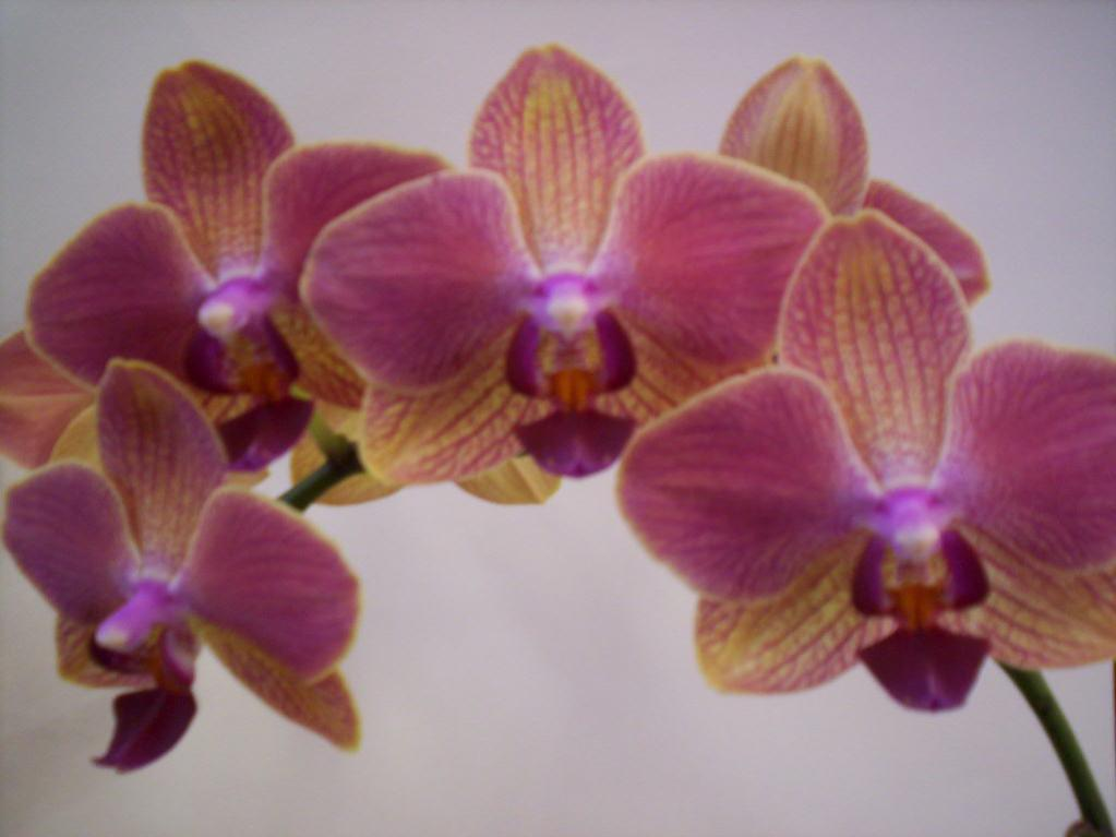 How many spikes can a phal. have before it stresses out?-phal1-jpg