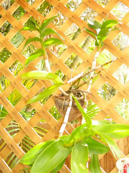 How do I plant my orchid in a coconut and how do I use the husks?-dscn2447-medium-jpg
