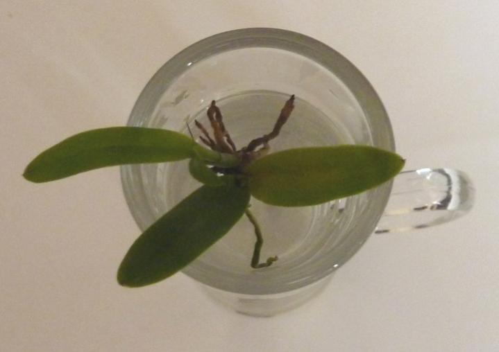 Dendrobium Baby! What to do with the Keiki? Advice Please.-tribblesbabytv-jpg