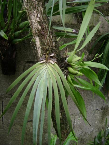Cuban Orchids-cqs1222656224v-jpg