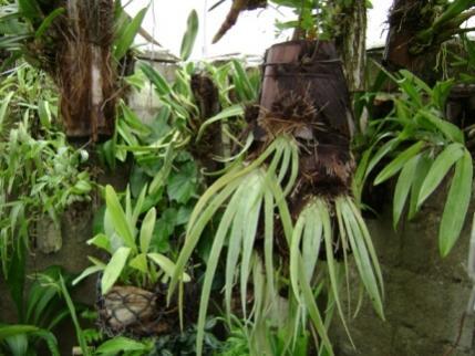 Cuban Orchids-cqs1222656293i-jpg