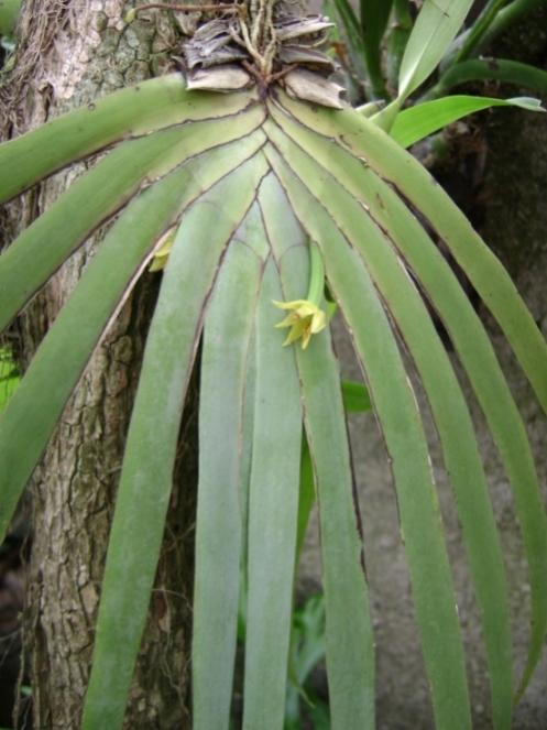Cuban Orchids-cqs1225154290e-jpg