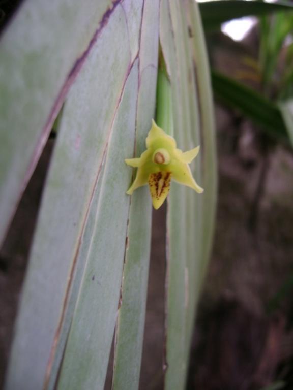 Cuban Orchids-cqs1225154428n-jpg