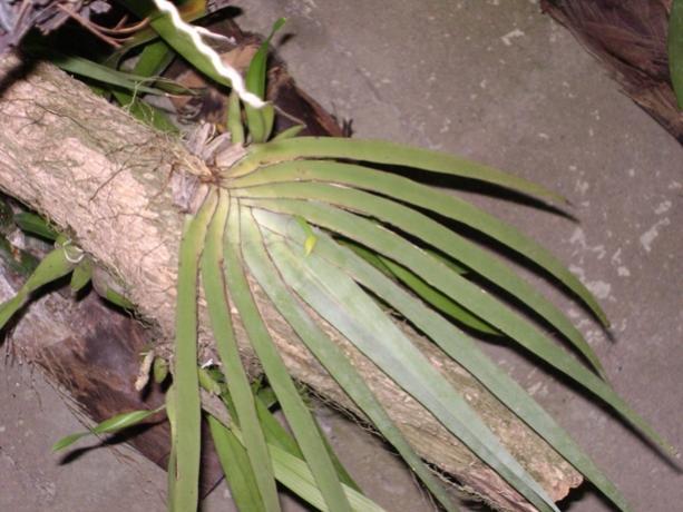 Cuban Orchids-viu1225154072s-jpg