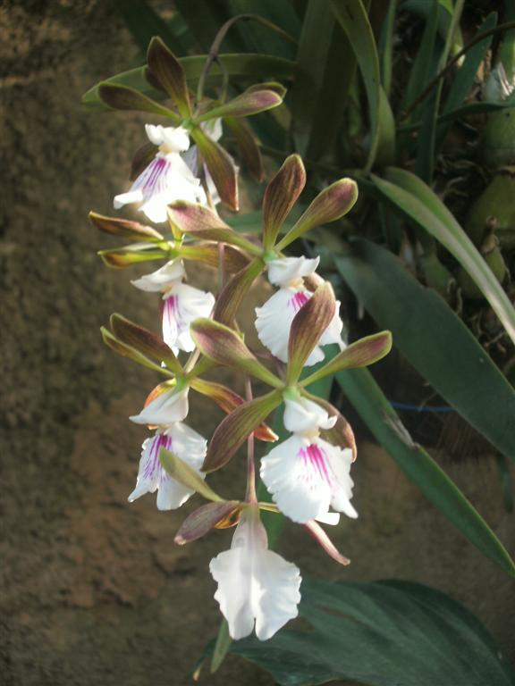 Cuban Orchids-gedc2935-jpg