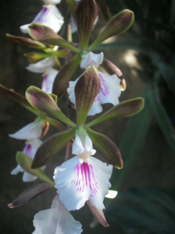 Cuban Orchids-gedc2936-jpg
