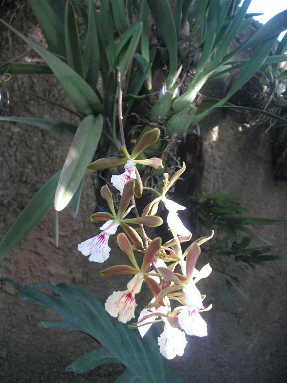 Cuban Orchids-gedc2938-jpg