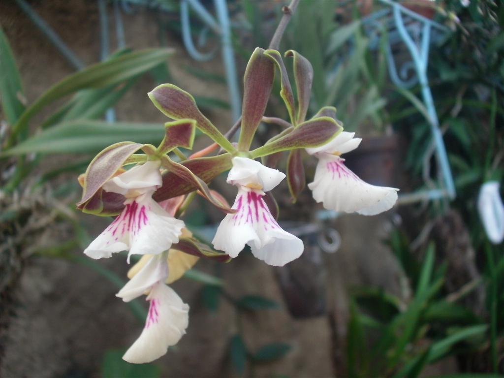 Cuban Orchids-gedc2956-jpg