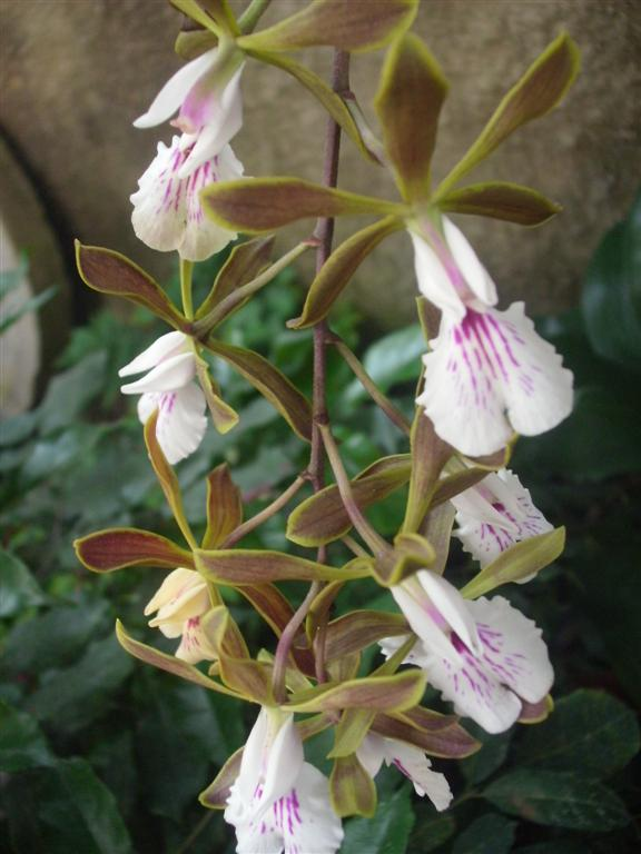 Cuban Orchids-gedc2980-jpg