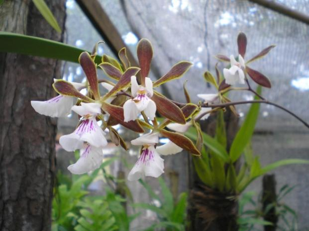 Cuban Orchids-viu1211669581b-jpg