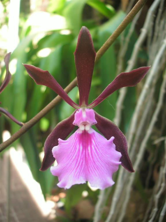 Cuban Orchids-gedc2657_new1-jpg