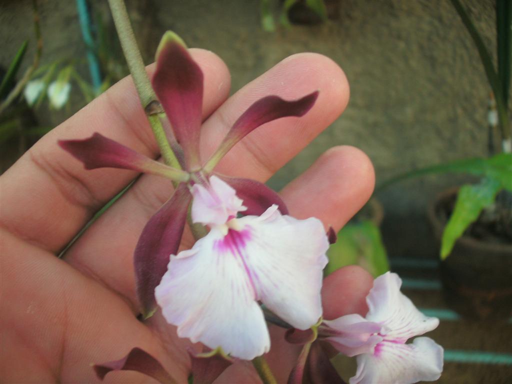 Cuban Orchids-gedc2702-jpg