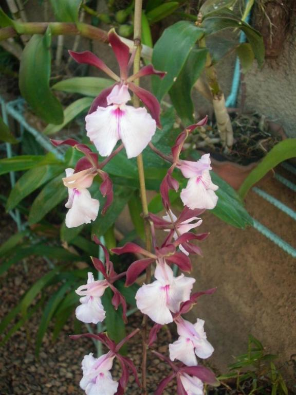 Cuban Orchids-gedc2704-jpg