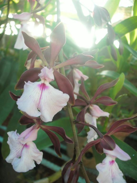 Cuban Orchids-gedc2705-jpg