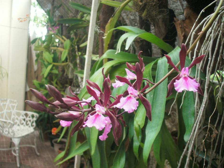 Cuban Orchids-gedc2718-jpg
