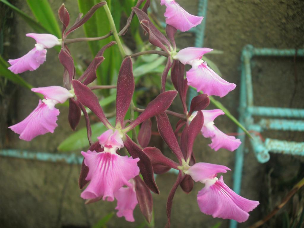 Cuban Orchids-gedc2939-jpg