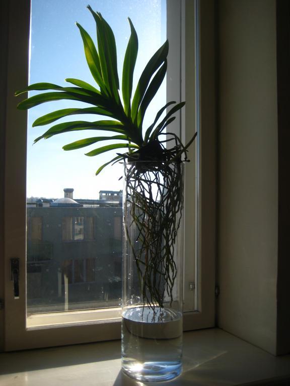 Vandas in Glass Vases-img_6405-jpg