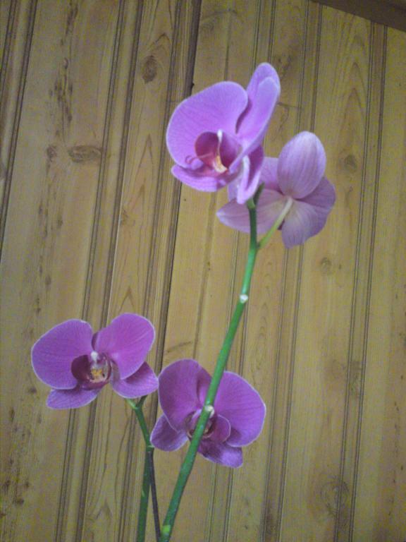 Ophrys Apifera Flower Jpg