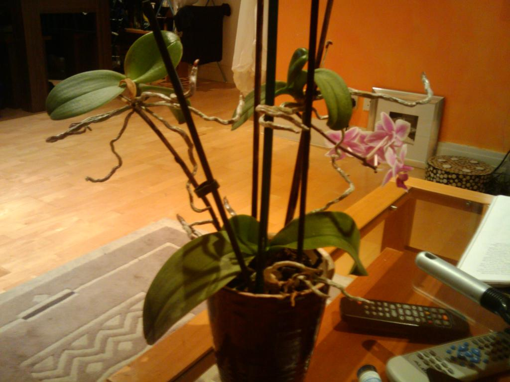 orchid sprouting ariel roots-orchid-jpg