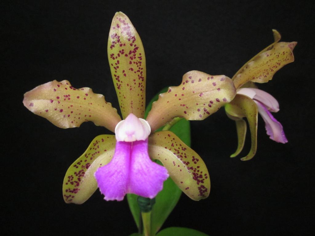 Cattleya guttata x bicolor-guttata-grandiflora-bicolor-alba-jpg