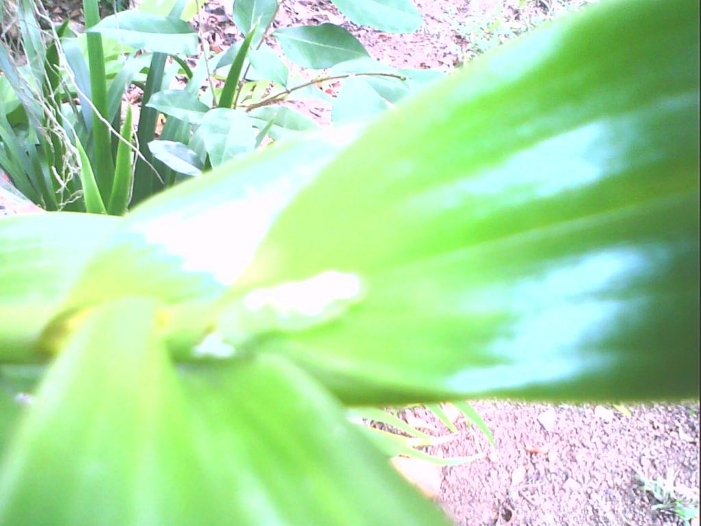 Something ate part of my Cyp. pletrochilum.-img0081a-jpg
