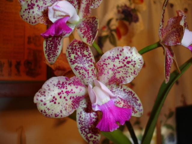 C. Caudebec 'Carmela'-flowers-002-jpg