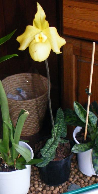 How to get new roots to grow on Paphs?-paph-jpg